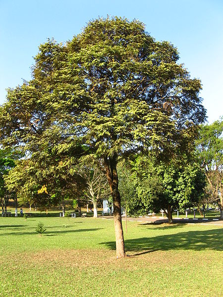 Brazilian Cedarwood Is A Long Lived Moderately Growing Deciduous Tree That Can Reach Height Of 40 To 50 In Southern California This Tolerates Most