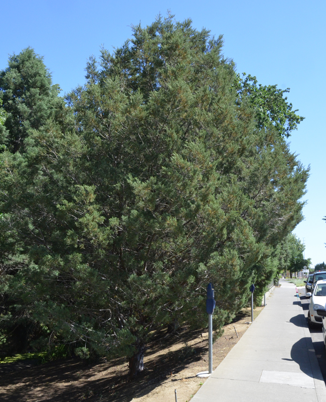 Native To The Coastal Mountains Of Southern California Tecate Cypress Is A Fast Growing Low Branching Evergreen Tree That Grows 10 25 Feet Tall And