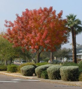 mature olive trees for sale southern california