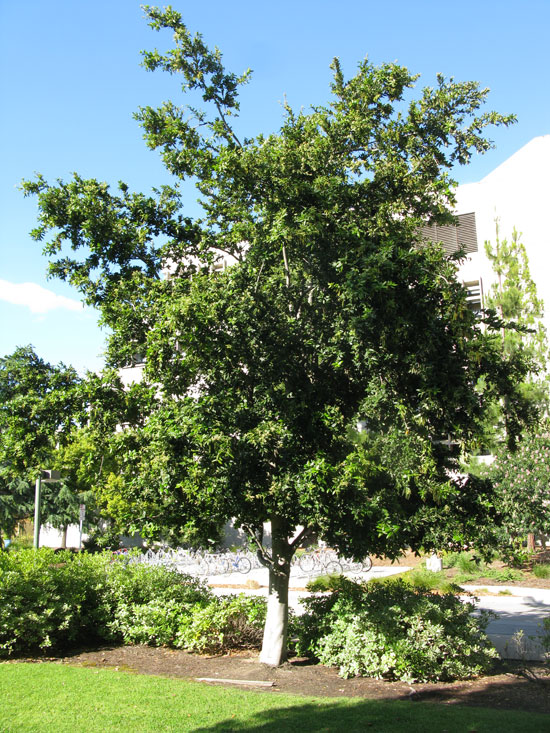 The Island Oak Is Native To Five Of California Channel Islands And Guadalupe Off Baja It Evergreen Fast Growing A Height