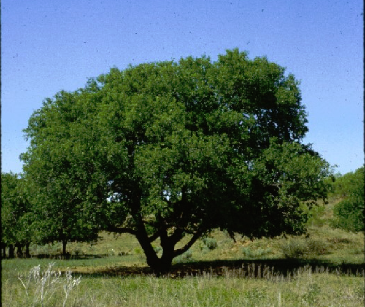 The Netleaf Hackberry Is Native To Riparian Areas In Southwest A Deciduous Tree It Reaches Heights Of 25 35 Feet With Spreading Or Weeping Canopy