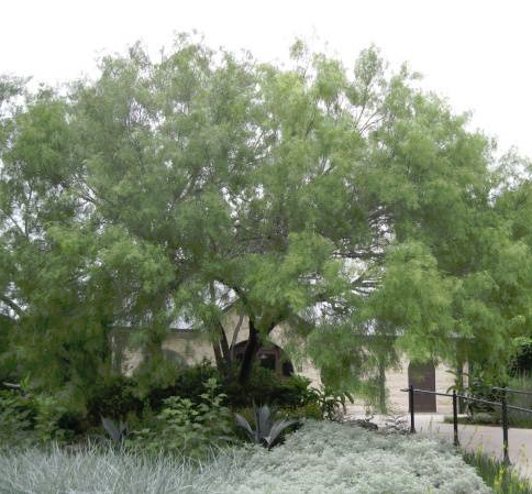 Maverick Is An Upright Growing Thornless Cultivar Of The Honey Mesquite Tree Which Native To Sourthwestern United States